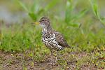 Spotted sandpiper - breeding plumage