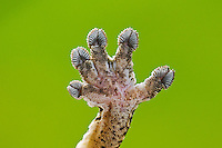 Close-up of Henkel's Leaf-Tailed Gecko (Uroplatus henkeli) underside of foot adhering to glass thanks to setae (hair-like structures) on their toepads.