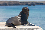 South Plazas Island, Galapagos, Ecuador; a young Galapagos Sea Lion (Zalophus wollebaeki) poses for pictures at the top of the stairs leading onto the island , Copyright © Matthew Meier, matthewmeierphoto.com All Rights Reserved