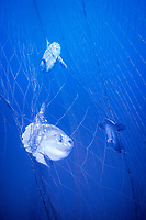 ocean sunfish, Mola mola, being caught as a bycatch in Tonnara, mazes of nets in traditional Mattanza fishtrap fishery, targeting spawning fish - the fishing method originates to Almadraba, an ancient Andlusian way of catching tuna, Italy, Mediterranean Sea, Atlantic Ocean