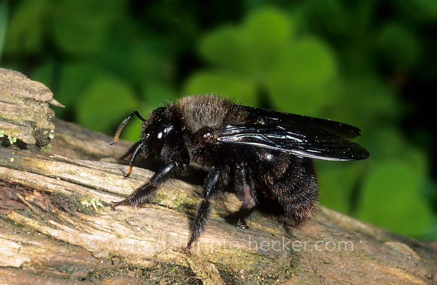 Blaue Holzbiene, Männchen, Blauschwarze Holzbiene, Große Holzbiene, Violettflügelige Holzbiene, Xylocopa violacea, Violet carpenter bee, Indian Bhanvra, male, Le xylocope violet