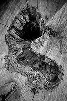 Switzerland. Canton Graubünden. Val Roseg. A heart shape inside a cut tree trunk. The Val Roseg is a valley of the Swiss Alps, located on the north side of the Bernina Range in the canton of Graubünden (Engadin). The valley is drained by the Ova da Roseg, a tributary of the Flaz (Inn basin), at Pontresina. 20.06.2020 © 2020 Didier Ruef