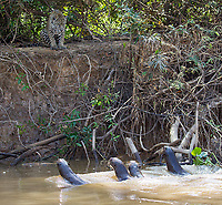 A jaguar faces off against giant otters.  The otters had babies stashed away in the thicket, where the cat couldn't get to them.  Every couple minutes, they'd swim out to challenge the jaguar before swimming off again.  It was ultimately a stalemate.