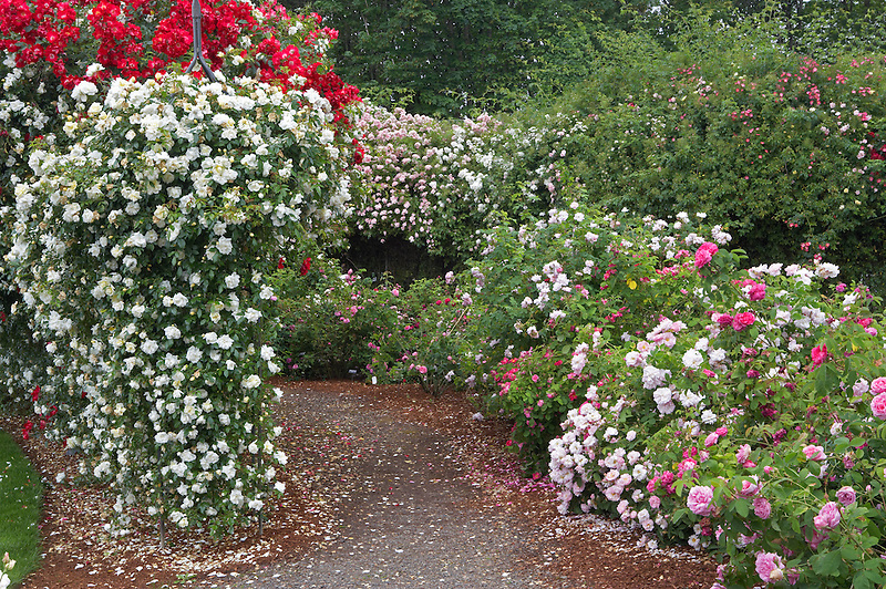 Path through display garden of roses at Heirloom Gardens, Oregon