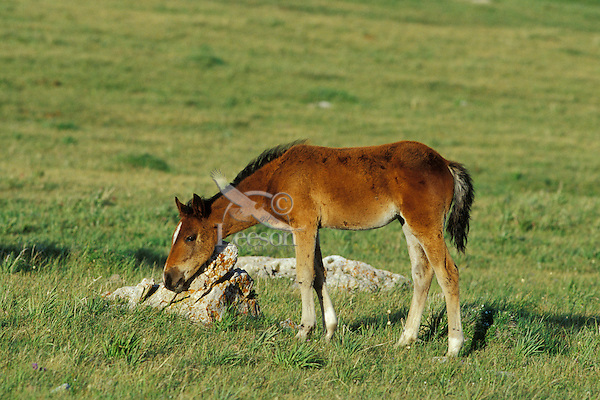 Wild Horse colt rubs neck on rock in meadow in Pryor Mountains, Montana.  Summer..(Equus caballus)