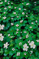 Western white anemone and bunchberry<br /> Roaring River Trail<br /> Willamette National Forest<br /> Cascade Range,  Oregon