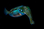 Squid -Squid -Sepioteuthis lessoniana, ID Ron Silver