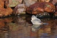 Lucy's Warbler, Vermivora luciae, adult bathing,Tucson, Arizona, USA, September 2006