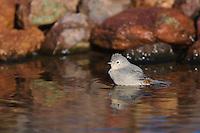 Lucy's Warbler, Vermivora luciae, adult bathing,Tucson, Arizona, USA, September 2006