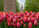April 29, 2015; Tulips with Golden Dome in the background. (Photo by Barbara Johnston/University of Notre Dame)