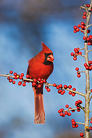 northern cardinal, Cardinalis cardinalis, male eating meadow holly berries, Ilex decidua, Bandera, Hill Country, Texas, USA, North America