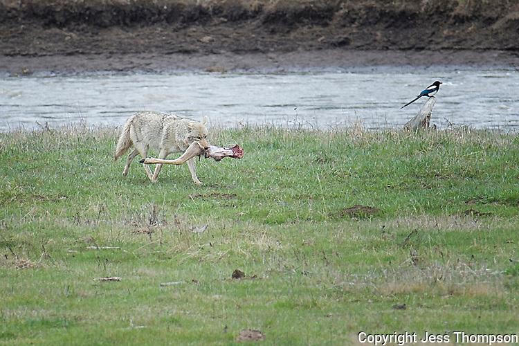 Coyote in Lamar Valley, Yellowstone, with Mule Deer Leg