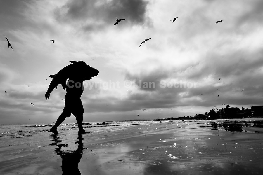 A fisherman carries a dead thresher shark body at dawn on the beach of Manta, Ecuador, 9 September 2012. Every morning, hundreds of shark bodies and thousands of shark fins are sold on the Pacific coast of Ecuador. Although the targeted shark fishing remains illegal, the presidential decree allows free trade of shark fins from accidental by-catch. However, most of the shark species fished in Ecuadorean waters are considered as ?vulnerable to extinction? by the World Conservation Union (IUCN). Although fishing sharks barely sustain the livelihoods of many poor fishermen on Ecuadorean at the end of the shark fins business chain in Hong Kong they are sold as the most expensive seafood item in the world. The shark fins are primarily exported to China where the shark's fin soup is believed to boost sexual potency and increase vitality. Rapid economic growth across Asia in recent years has dramatically increased demand for the shark fins and has put many shark species populations on the road to extinction.
