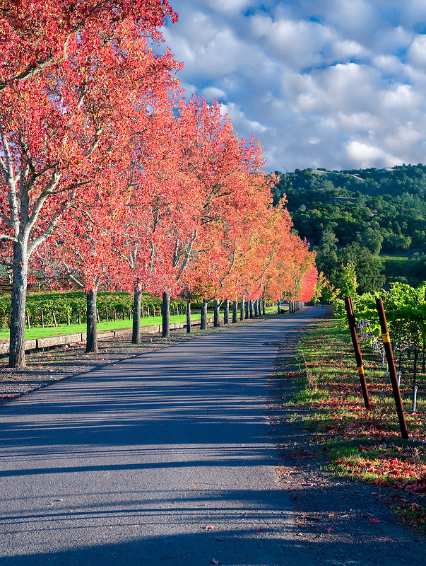 Sweetgum tree lined driveway in fall color. Near Gyserville, CA