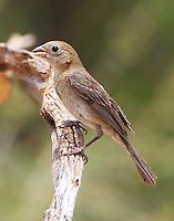 Female varied bunting