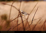 White-Tailed Kite, Portrait of Female, Sepulveda Wildlife Refuge, Southern California