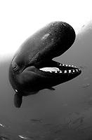 Melonhead Whale Peponocephala electra Subic Bay