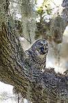 Brazoria County, Damon, Texas; an adult Barred Owl swallowing a crawfish while perched overhead on the branch of a large, live oak tree with spanish moss, backlit by early morning sunlight