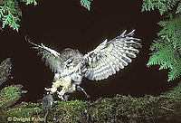 OW08-002z  Saw-whet owl - flying to catch prey mouse- Aegolius acadicus