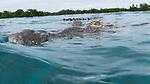 American Crocodile with diver and tail, Crocodile, Cuba Underwater, Gardens of the Queen Cuba Underwater, Jardines de la Reina, Protected Marine park underwater, reef scenic,