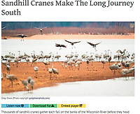 Sandhill cranes roost for the night on a sandbar in the Wisconsin River by the Aldo Leopold Foundation near Baraboo, Wisconsin on Wednesday, November 22, 2016 |  Wisconsin Public Radio's To The Best of Our Knowledge broadcast nationally through National Public Radio syndication July 25 and 26, 2020 and online at https://www.ttbook.org/interview/sandhill-cranes-make-long-journey-south