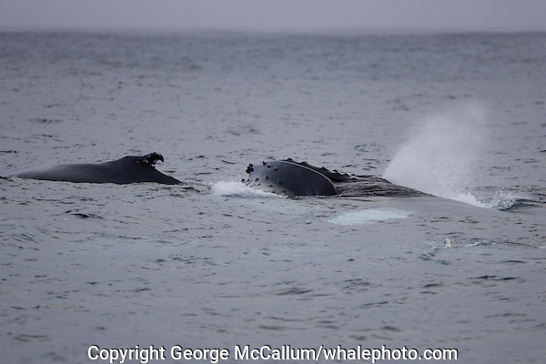 Humpback whales Megaptera novaeangliae surfacing and spouting Iceland North atlantic