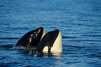 Orca Whales or killer whales (Orcinus orca) spyhopping.