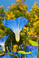 Ipomoea purpurea Heavenly Blue morning glory flower vine with blue blooms. Ipomoea tricolor Heavenly Blue