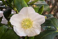 Helleborus niger 'Joshua' HGC in white flower