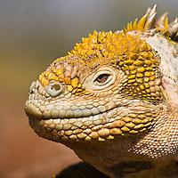 Faint smile from a Galapagos Land Iguana, April 2007