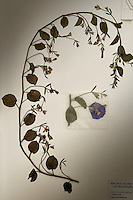 A dried species of a plant and its flower is catalogued into the archive of the Royal Botanical Gardens, Kew in London..