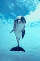 common bottlenose dolphin, Tursiops truncatus, Oahu, Hawaii, USA, Pacific Ocean (c)