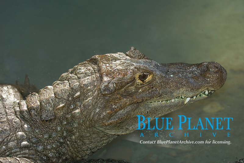 Spectacled Caiman, Caiman crocodilus found in Central and South America