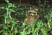 MA22-019x  Raccoon - young animal exploring, finding food (peas) in garden - Procyon lotor