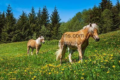Oesterreich, Tirol, Zillertal Arena, Gerlos: Haflinger Pferde weiden auf Blumenwiese| Austria, Tyrol, Zillertal Arena, Gerlos: Haflinger horses at flower meadow