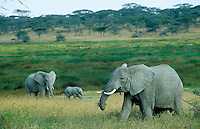 TANZANIA wildlife sanctuary Serengeti , elephants in search for fodder / TANSANIA Nationalpark Serengeti , Elefanten auf Nahrungssuche