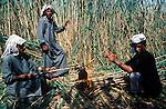 Marsh Arabs. Southern Iraq. Marsh Arab men cutting reads making tea. Haur al Mamar or Haur al-Hamar marsh collectively known now as Hammar marshes Iraq 1984