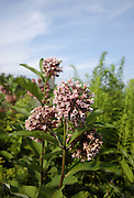 Milkweed-Asclepias syriaca-during the summer months in a New Hampshire field . .Notes:  This flower is a host for the monarch butterfly larvae and It is a Kapok substitute, used in Life Jackets.