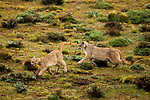 Mountain Lion (Puma concolor) dominant female chasing submissive female, Torres del Paine National Park, Patagonia, Chile