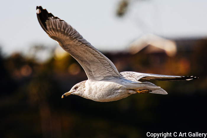 Passing By, seagull in Upper Newport Bay, CA.
