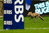 13.03.2011. RBS Six Nations Rugby. An unexpected spectator on the pitch at Twickenham.  England 22 Scotland 16.