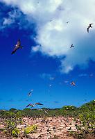 The sooty tern or ewa ewa, (sterna fuscata oahuensis). This marine bird nests in great numbers on Oahu and islands in the northwest chain.