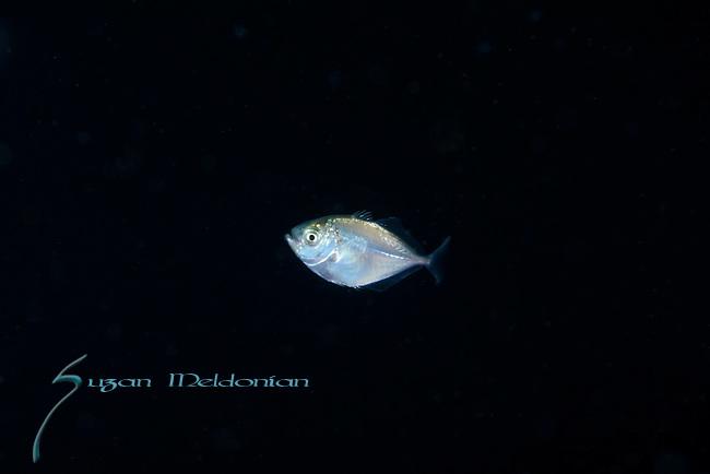 Atlantic Bumper fish, Chloroscombrus chrysurus, is a game fish in the family, Carangidae, Fish larva, Black Water diving over Gulfstream Current, depth 600 ft. Full moon, Super moon, Altantic Ocean, Florida