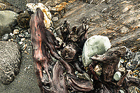 Close up of rata driftwood with rocks, Westland Tai Poutini National Park, West Coast, UNESCO Wolrd Heritage Area, New Zealand, NZ
