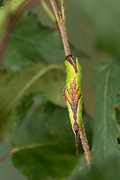 Buchen-Gabelschwanz, Weiden-Gabelschwanz, Buchengabelschwanz, Weidengabelschwanz, Raupe, Furcula furcula, sallow kitten, caterpillar, La Harpye fourchue, Zahnspinner, Notodontidae