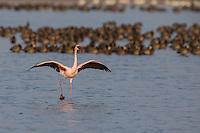 Lesser Flamingo in flight at Djoudj Nature Reserve in northern Senegal