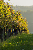 France, Aquitaine, Pyrénées-Atlantiques, Béarn, Coteau du Jurançon, Monein:    Vignoble de Jurançon //  France, Pyrenees Atlantiques, Bearn,Slopes of Jurançon, Monein : Jurançon vineyard