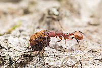 A Spine-waisted Ant (Aphaenogaster tennesseensis) carries scavenged food back to its nest.