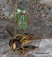 "0625-07mm  Green Lynx Spider Consuming Fly  - Peucetia viridans  ""Eastern Variation"" - © David Kuhn/Dwight Kuhn Photography"
