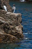 Royaume-Uni, îles Anglo-Normandes, île de Sark (Sercq) Les Autelets : Guillemot de Troïl  // United Kingdom, Channel Islands, Sark Island (Sercq) :  Common Guillemot
